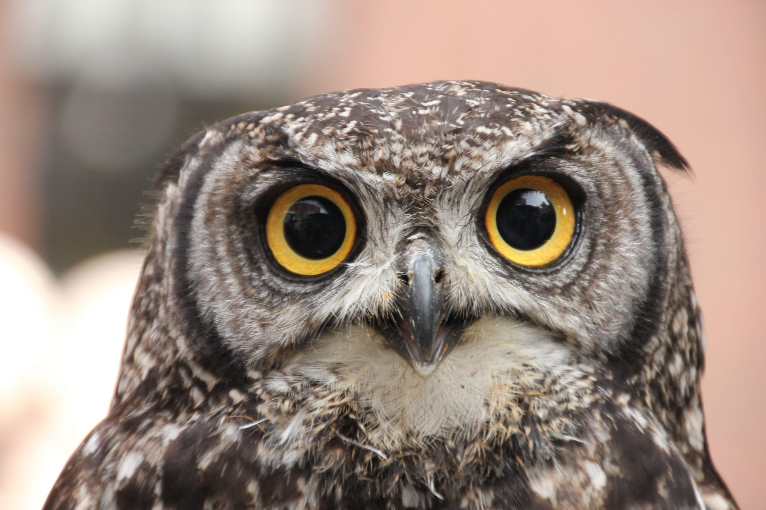 MVP: Owl Pellet Dissection